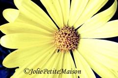 etsy20 daisy1