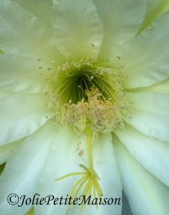 etsy23 cactusflower1