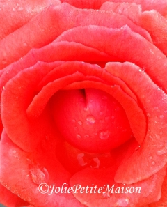 etsy24 rose with dew