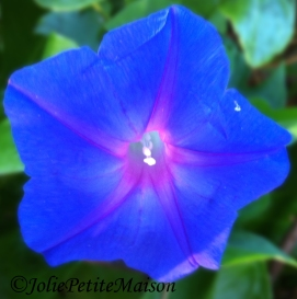 etsy32 morning glory1