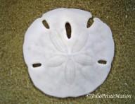 etsy73 shells1 sand dollar