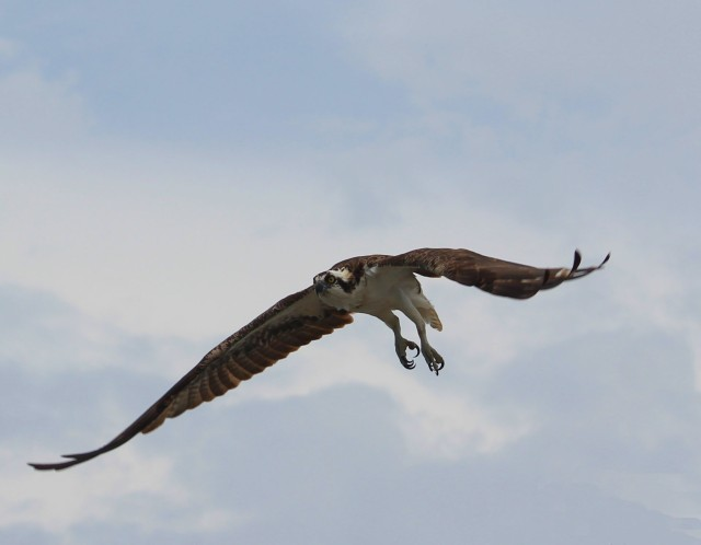 Osprey in flight2