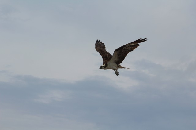 Osprey in flight3