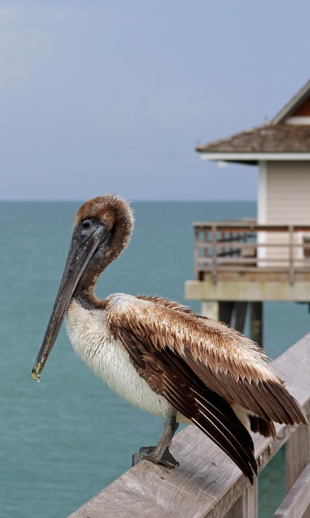 Pelican at Pier