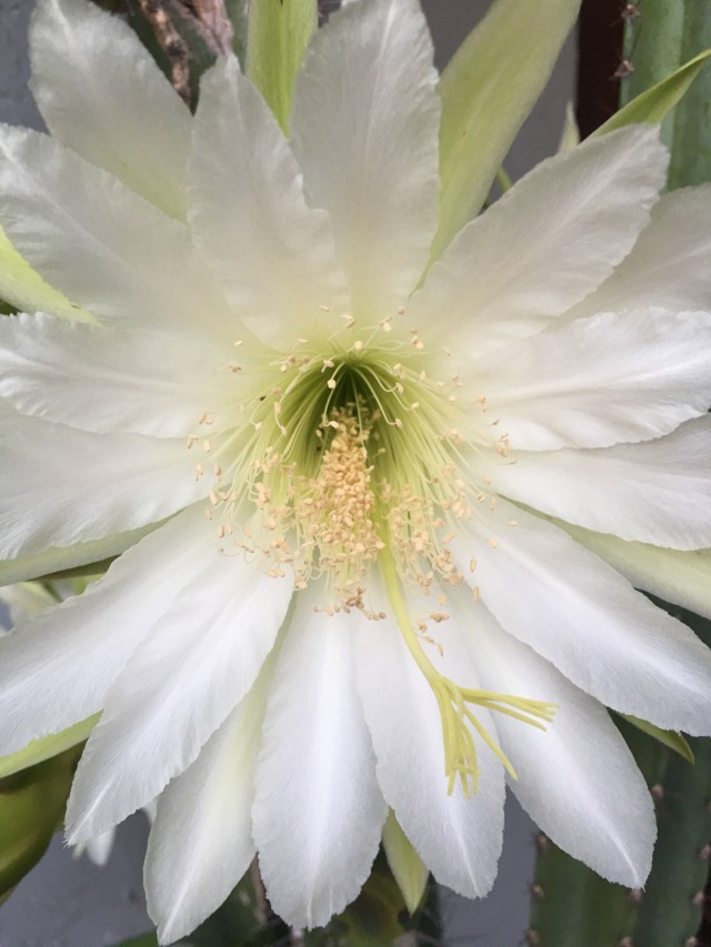 Night Blooming Cactus1